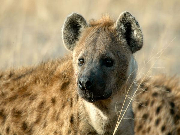 16) Hyenas aren't actually dogs. They are more closely related to cats.