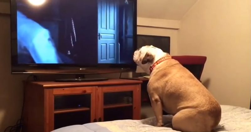 Hilarious Dog Watching A Horror Movie Is The Lady In The Theater Who Won't Shut Up